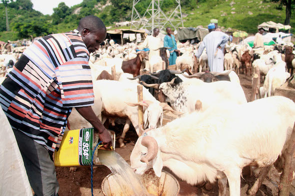 Last year, rams were selling for between N150k and N200k. The prices have fallen 50 per cent. Photo Femi Ipaye