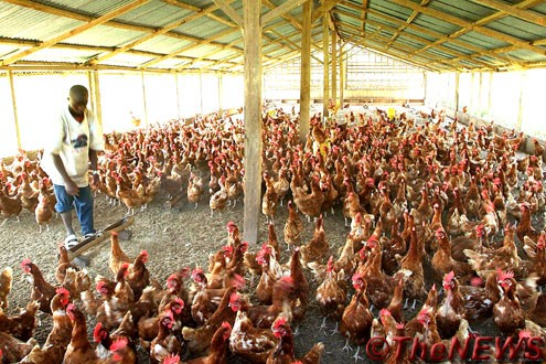A Nigerian poultry farmer: CBN policy favourable
