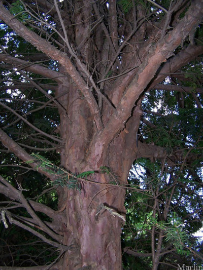 a Chinese taxus chinensis tree