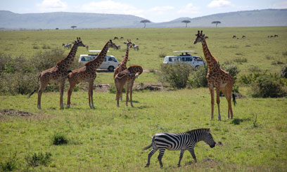 Tourists in Kenya drive past some giraffes