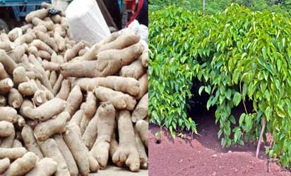 Yam farming, for example, can be improved with good  crop bteeding