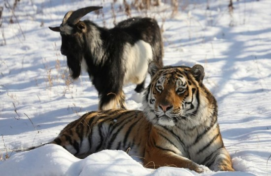 Amur the Tiger and Timur the goat: a surprising friendship