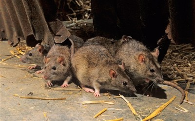 People are advised to avoid rats which transmit the disease
