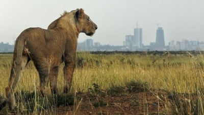 A lion in Nairobi National Park, located on the southern edge of Kenya's capital. BBC/ AFP