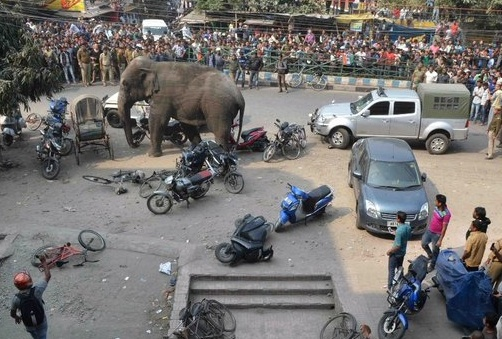 The rampaging elephant