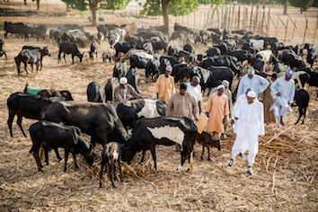 Buhari and his cattle, kept and fed in pens, a system that the marauders can adopt