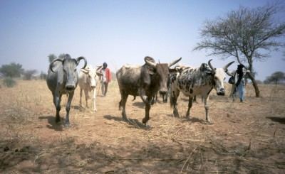 Fulani and their cattle