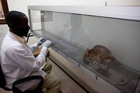 A scientist watches a rat in practice