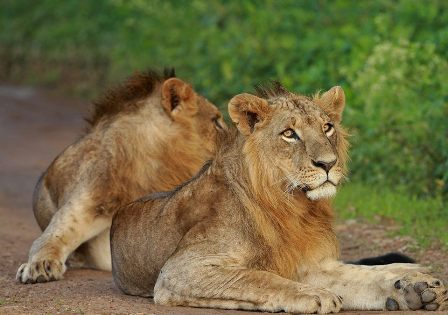 Lions at the park