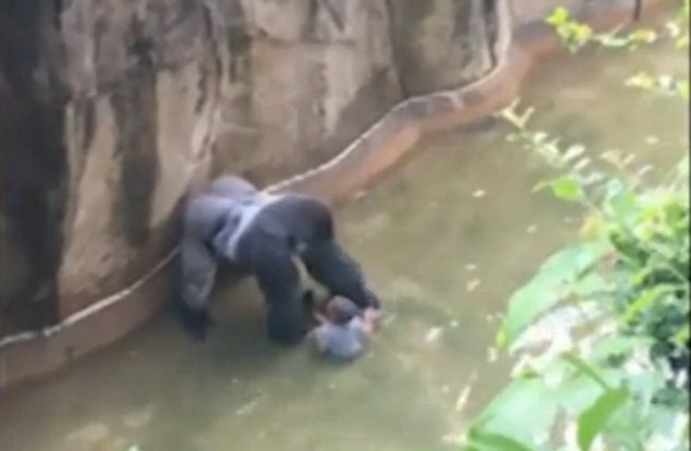 Harambe the gorilla and the boy that fell inside the moat at Cincinnati zoo