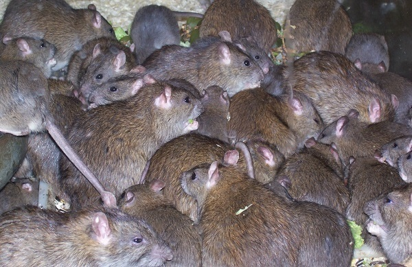 Rats are carriers of LASSA