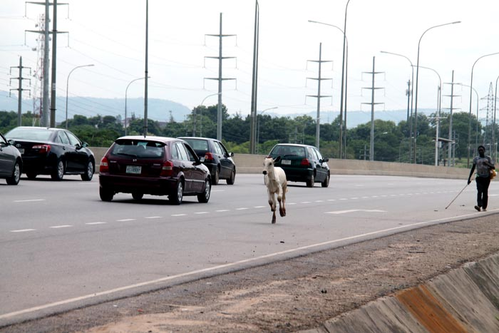 """The cow still having its """"fun"""" on the six lane expressway to the agony of motorists"""
