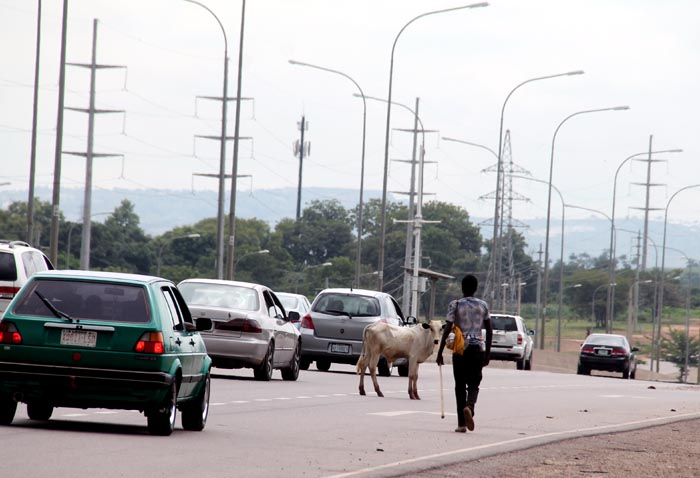 The cow as it broke loose from the herd, refusing the call of its herder to return