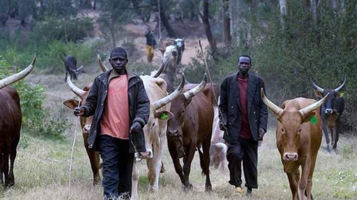 Open grazing: Herdsmen and their cows:  Buji Local Government Council of Jigawa State banned under-aged children from grazing animals in the area,