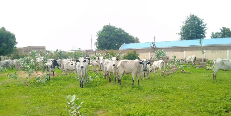 Cows recovered from the bandits in Katsina